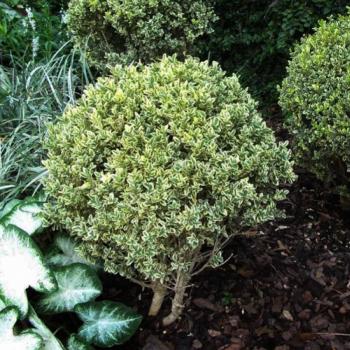 Cimisir variegat - Buxus sempervirens Elegans Pomi, arbusti si butasi