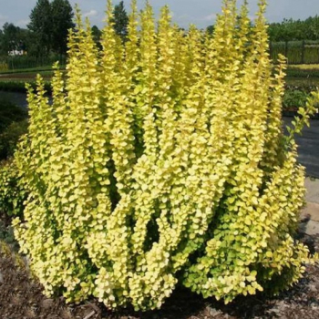 Dracila - Berberis thunbergii Maria Pomi, arbusti si butasi