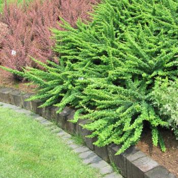 Dracila verde - Berberis thunbergii Green Carpet