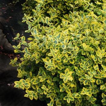 Euonimus verde cu galben - Euonymus fortunei Emeraldn Gold Pomi, arbusti si butasi