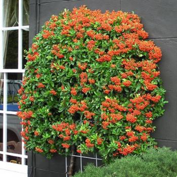 Piracanta cu fructe portocalii - Pyracantha coccinea Teton Pomi, arbusti si butasi