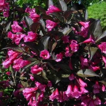Veigela cu frunze visinii - Weigela florida Alexandra Pomi, arbusti si butasi