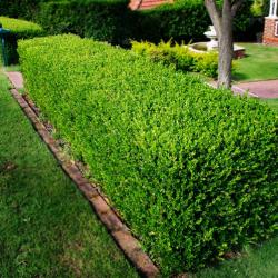 Cimisor verde - Buxus sempervirens Pomi, arbusti si butasi