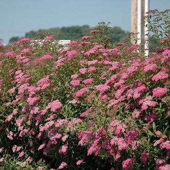 Cununita cu flori roz - Spiraea x bumalda Pomi, arbusti si butasi