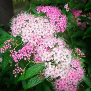 Cununita cu flori roz/alb - Spiraea japonica Shirobana Pomi, arbusti si butasi