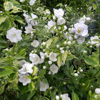 Iasomia cu frunzele patate - Philadelphus Innocence Pomi, arbusti si butasi