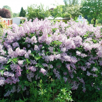 Liliac corean - Syringa patula Miss Kim Pomi, arbusti si butasi