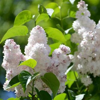 Liliac cu flori roz spre alb - Syringa vulgaris Beauty of Moscow