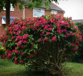 Veigela cu flori roz inchis - Weigela florida Eva Rathke Pomi, arbusti si butasi