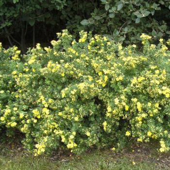 Potentilla cu flori galbene Potentilla fruticosa Goldteppich Pomi, arbusti si butasi