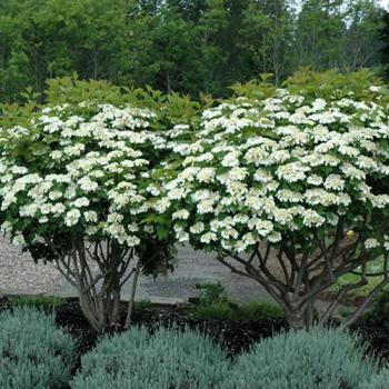 Calin - Viburnum opulus Compactum Pomi, arbusti si butasi