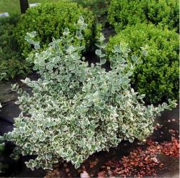 Euonimus verde cu alb - Euonymus fortunei Emerald Gaiety Pomi, arbusti si butasi