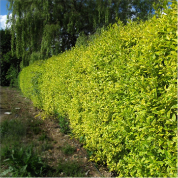 Lemn cainesc variegat - Ligustrum ovalifolium Zafir Pomi, arbusti si butasi