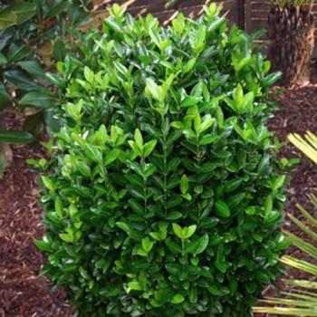 Euonimus compact verde - Euonymus japonicus Compacta Pomi, arbusti si butasi