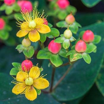 Sunatoare ornamentala - Hypericum and times inodorum Magical Beauty Pomi, arbusti si butasi