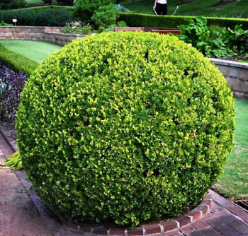 Cimisor globular Buxus sempervirens Suffruticosa Pomi, arbusti si butasi
