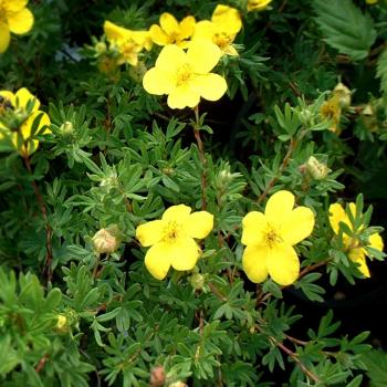 Potentilla cu flori galbene Potentilla fruticosa Goldfinger Pomi, arbusti si butasi