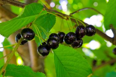 Cires amar de Maxut negru Pomi, arbusti si butasi