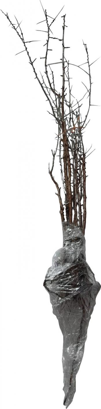 Pachet 10 bucati Catina 8 femele + 2 masculi Pomi, arbusti si butasi
