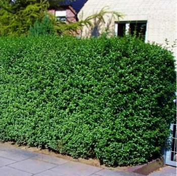 Lemn cainesc verde Ligustrum ovalifolium Miki Pomi, arbusti si butasi