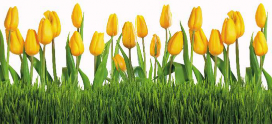 Panou bucatarie protectie plita aragaz antistropire print UV model Lalele Galbene 600x500 mm Placi decorative