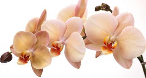 Panou bucatarie protectie plita aragaz antistropire print UV model Orhidee Phalaenopsis Sanderiana 600x600 mm Placi decorative