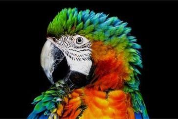 Detaliu al papagalului pe televizorul OLED conventional